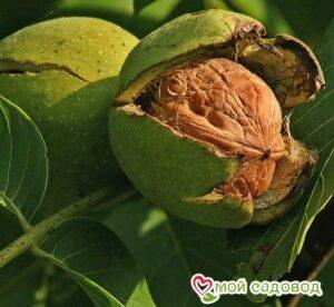 Грецкий орех Великан в Арамилье