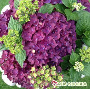 Гортензия крупнолистная Фиолетовая в Арамилье