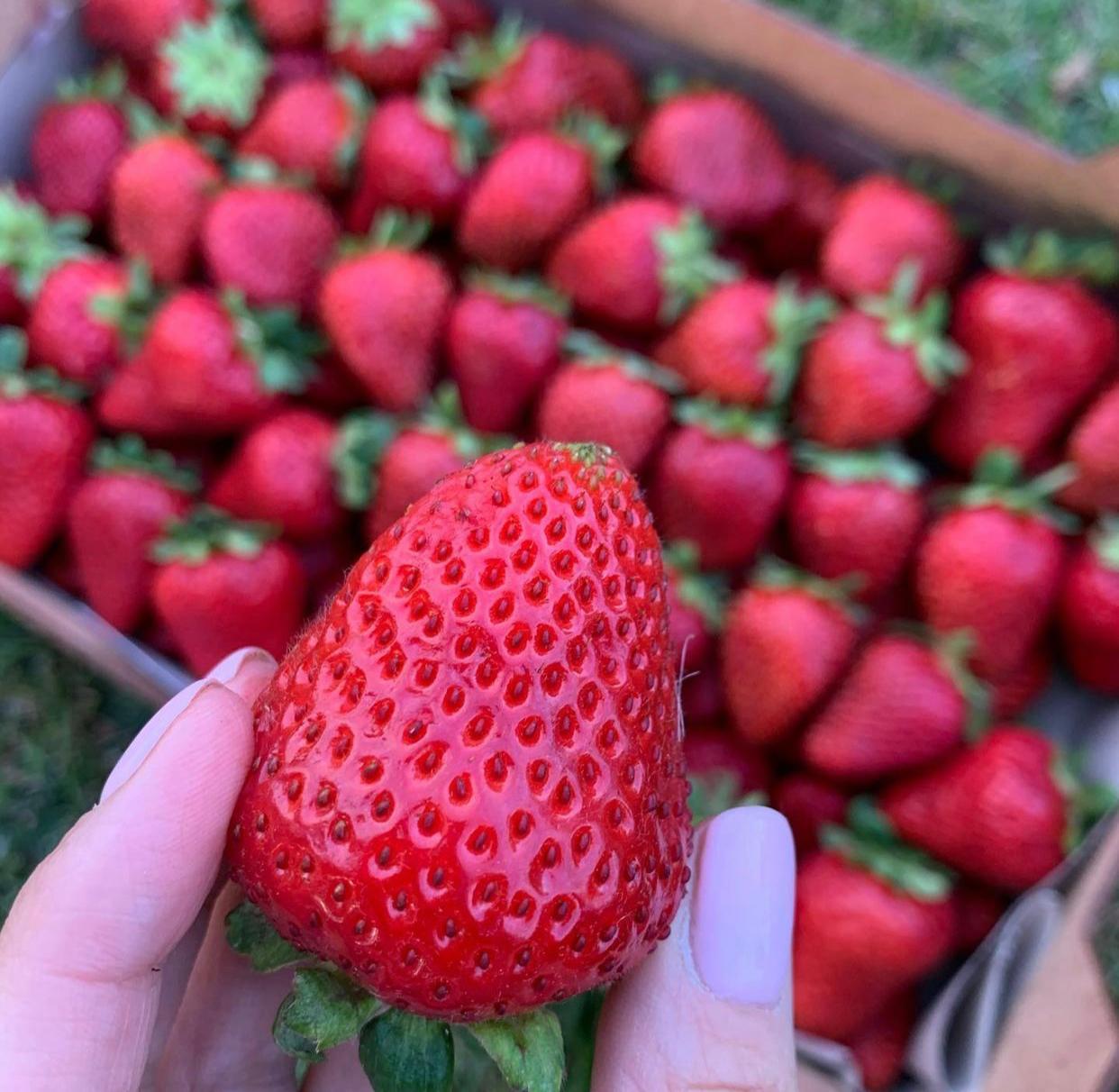Клубника Румба (ранняя ягода) (2) в Арамилье